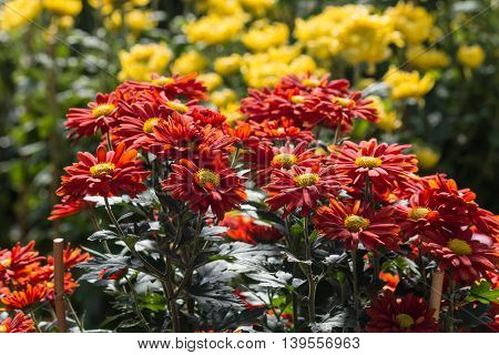 red and yellow chrysanthemum flowers in bloom