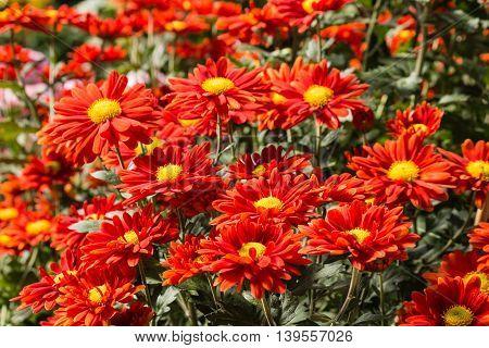 detail of red chrysanthemum flowers in bloom