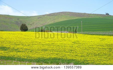 Canola Fields, Darling, Cape Town South Africa