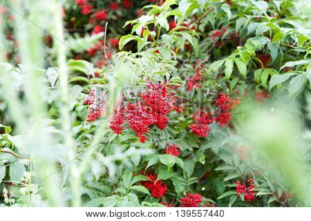 Red berries of elderberry among green leaves