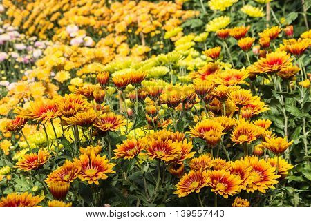 close up of yellow and orange chrysanthemums in bloom