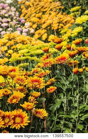 yellow and orange chrysanthemum flowers in bloom