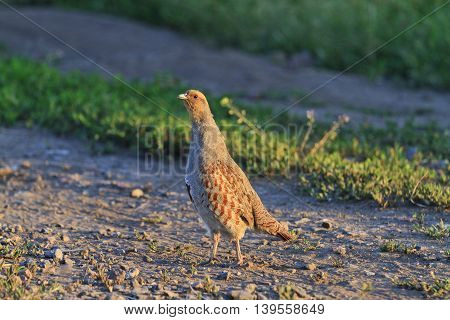 gray partridge standing in the way lit by the sun, wary bird, wild animal