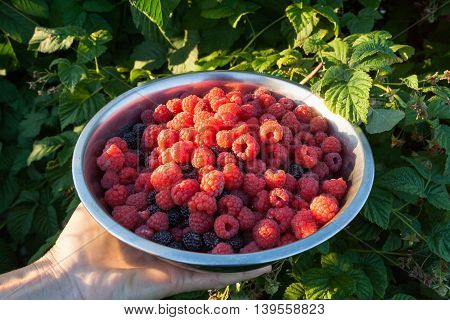 Hand holding a metal bowl with raspberries next to a bush