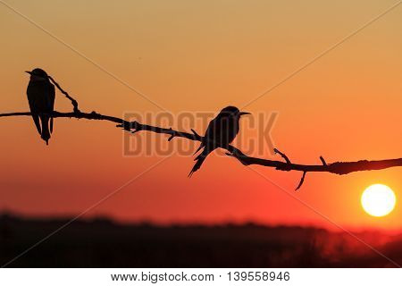 Silhouette couple of birds at sunset, bee eaters, european bee eaters, bird on branch,