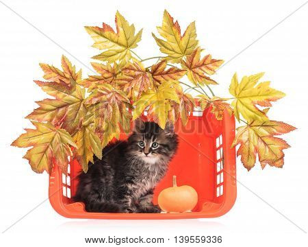 Cute fluffy kitten with basket and decorative foliage over white background