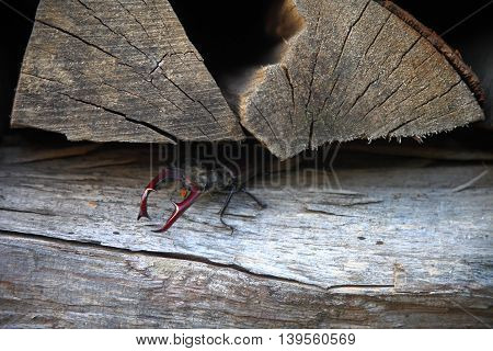 A close up shot of a stag beetle between some logs of fire wood.