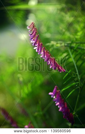 Some Vicia cracca, also known as tufted/cow/bird/blue or boreal vetch. Illuminated from the back, supported by a very green, blurred background.