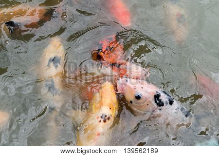 Feeding Koi Fish At Pond In The Garden
