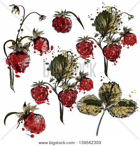 A collection of vector hand drawn strawberry plants in engraved and watercolor styles