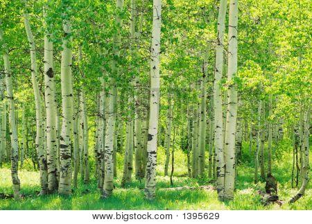 Green Aspen