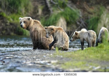 Brown Bear Sow And Cubs Sitting On Riverbank