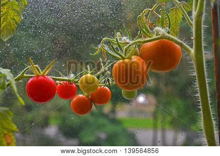 Tomatos growing on the balcony on summer