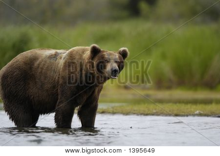 Brown Bear Standing In Brooks River Alaska
