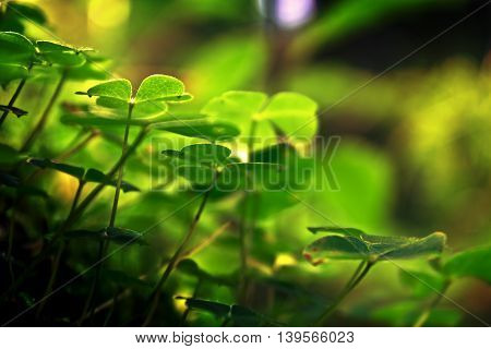 Three leaf clovers in to summer forest