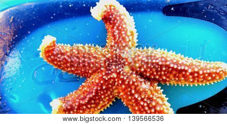 Captured from the sea live starfish ,very colorful