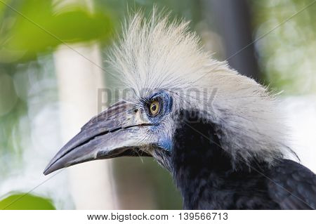 White-crowned hornbill (Berenicornis comatus) also known as the long-crested hornbill or white-crested hornbill. Thailand.