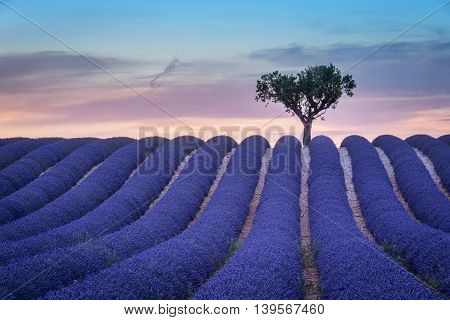 Lavender flowers blooming field lonely trees uphill on sunset. Valensole Provence France Europe.
