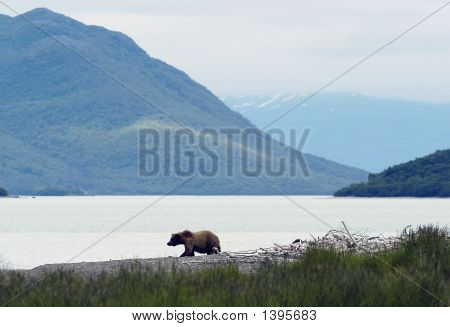 Brown Bear Walking On Naknek Lake Beach