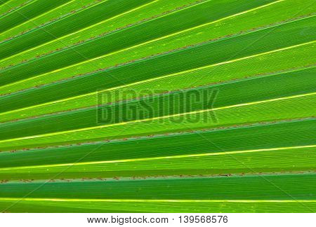 Background Pattern Abstact Green Palm Leaf Textured and Background with Copy Space for Text Decorated.