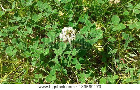 Clover flower with clover leaf and grass lawn
