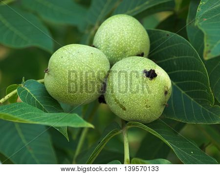 Ripening green walnuts on tree summer 2016 Hungary