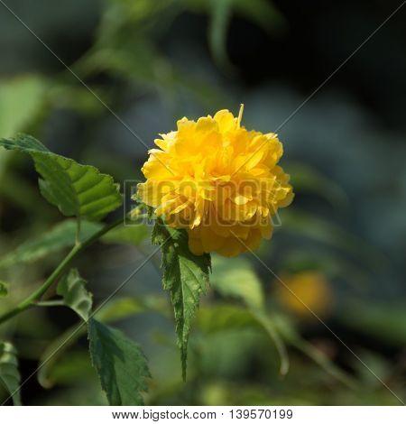 Yellow Rose on a bush in a garden
