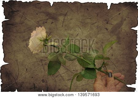 white rose in hand on brown background grunge