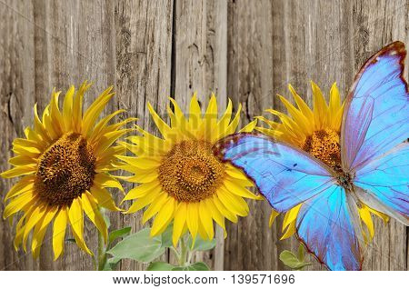 three yellow sunflowers on background wooden fence
