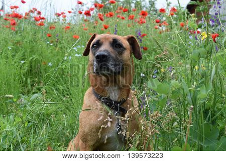 cute red dog close up in summer