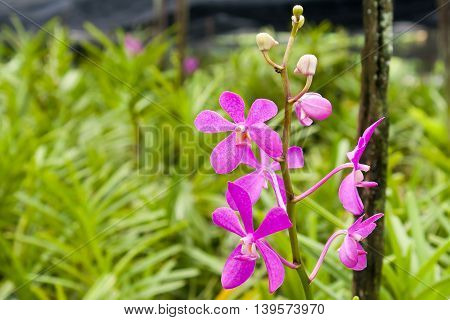 pink orchids in the karden, pink orchids in Thailand