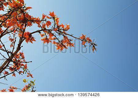 Beautiful Bastard Teak Or Bengal Kino's Flowers With Nice Blue Sky, Selective Focus