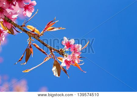 Beautiful Cherry Blossom Or Sakura With Nice Blue Sky, Selective Focus