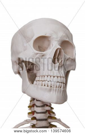 Head section of human skeleton model isolated on white background