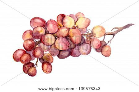 Red grape bunch. Isolated fruit - watercolor illustration