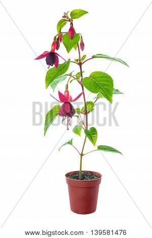 Blooming Red Fuchsia Home Flower Standart  In Pot Is Isolated On White Background, Close Up