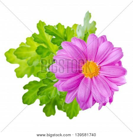 Close Up Of Composition Lilac Chrysanthemum Flower Is Isolated On White Backgroud