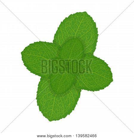 Fresh mint leaves, vector illustrationFresh mint leaves, vector illustration isolated on a white background