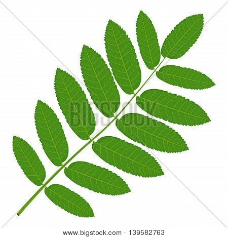 Green Rowan leaf vector illustration isolated on a white background