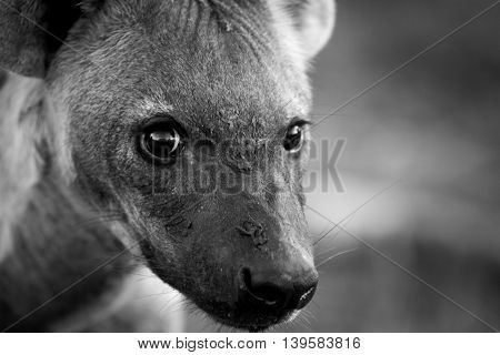 A Young Spotted Hyena Looking At The Camera In Black And White.