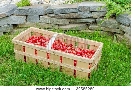 Organic Cherries From Bio Garden