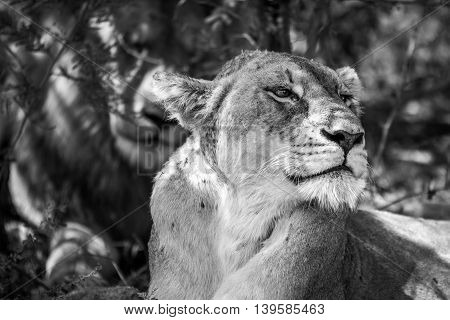 Side Profile Of A Lioness In Black And White.