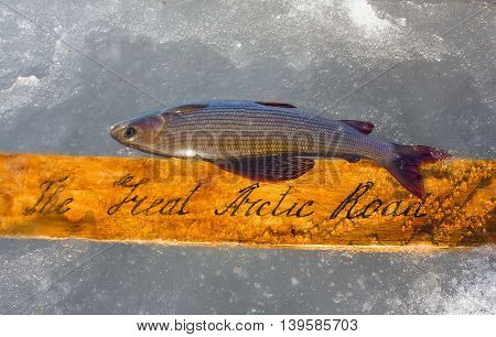 Great Arctic Way And Grayling As Symbol Of Arctic
