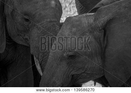 Close Up Of Two Elephants In Black And White.