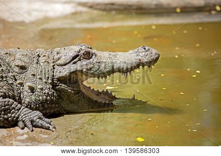 A head shot of a crocodile in the Indira Gandhi Wildlife Sanctuary in Tirupur District, Tamil Nadu, South India
