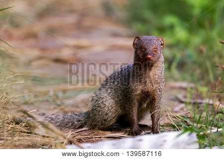 A Juvenile Common Gray Mongoose or Herpestes Edwardsii in a farm in Bahrain