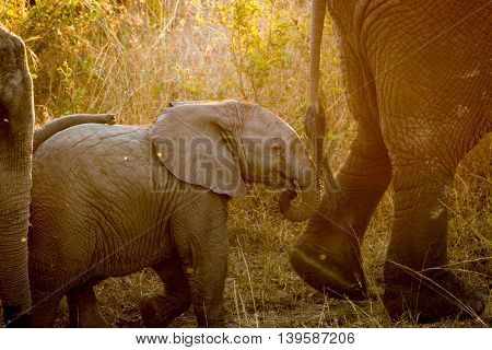 Baby Elephant Following His Mother In The Sunlight.