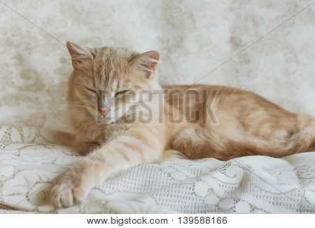 beige young cat napping on lace veil