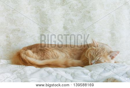 Young ginger cat sleeping on lace veil indoors
