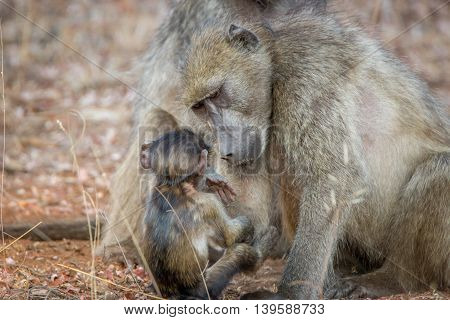 A Mother Baboon Taking Care Of A Baby Baboon